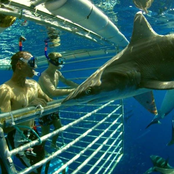 Shark Cage Diving in Durban1