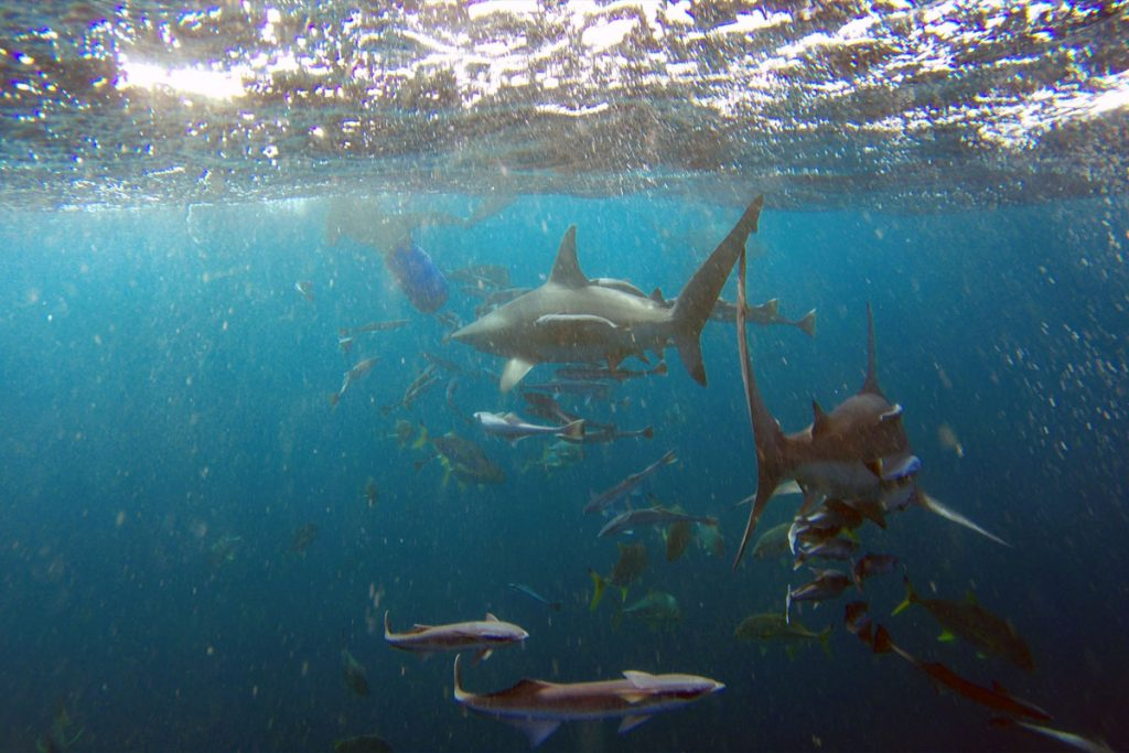 Shark Snorkeling Baited Diving Aliwal Shoal