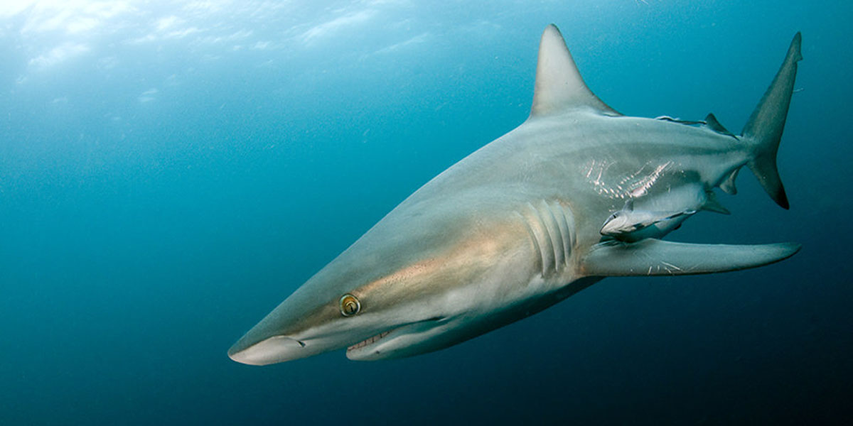 Sharks of Aliwal Shoal - Blue Wilderness