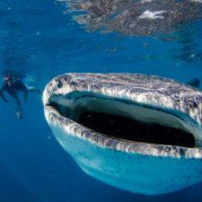whale-shark3