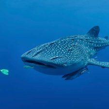whaleshark1