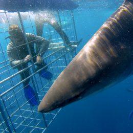 Shark research volunteers
