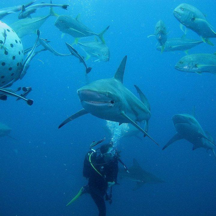 Sardine Run diving expeditions