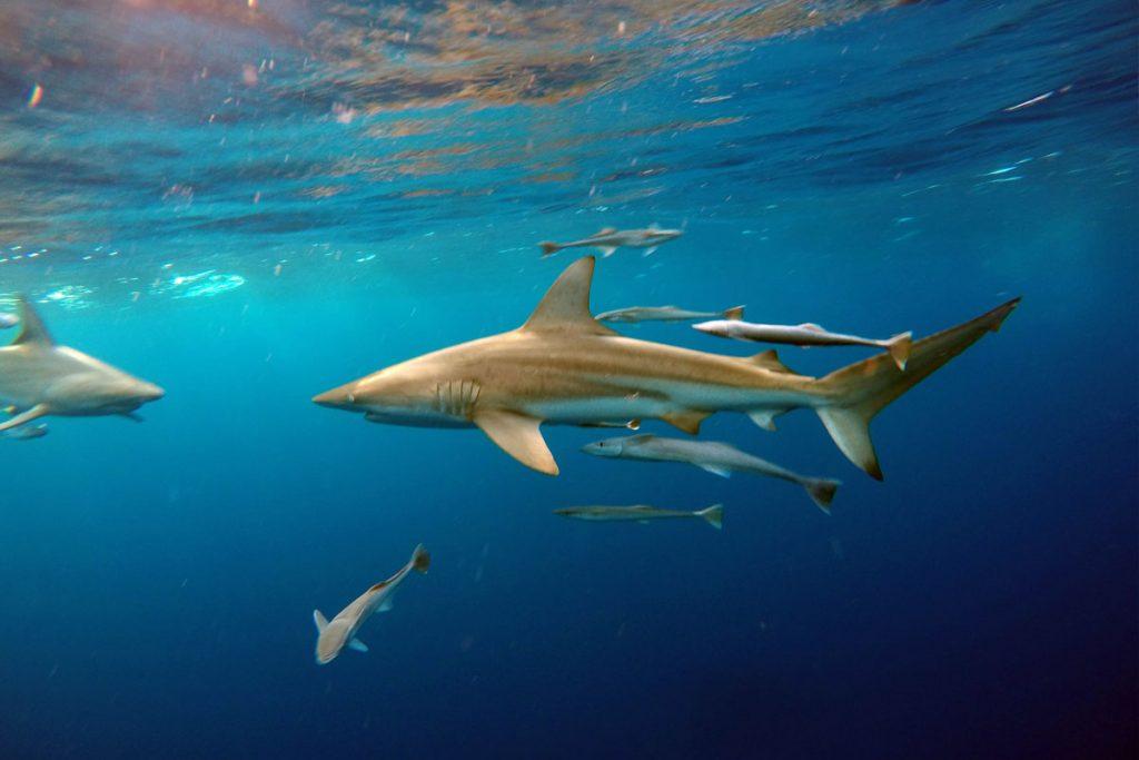Sharks of Aliwal Shoal - Blue Wilderness
