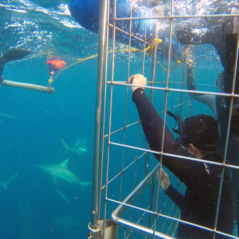 Shark cage diving at Durban''s Aliwal Shoal with the team of Blue Wilderness