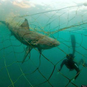 shark-nets