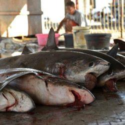 shark-fishery