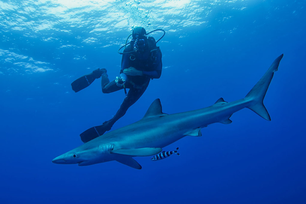 Blue Shark Diving trip