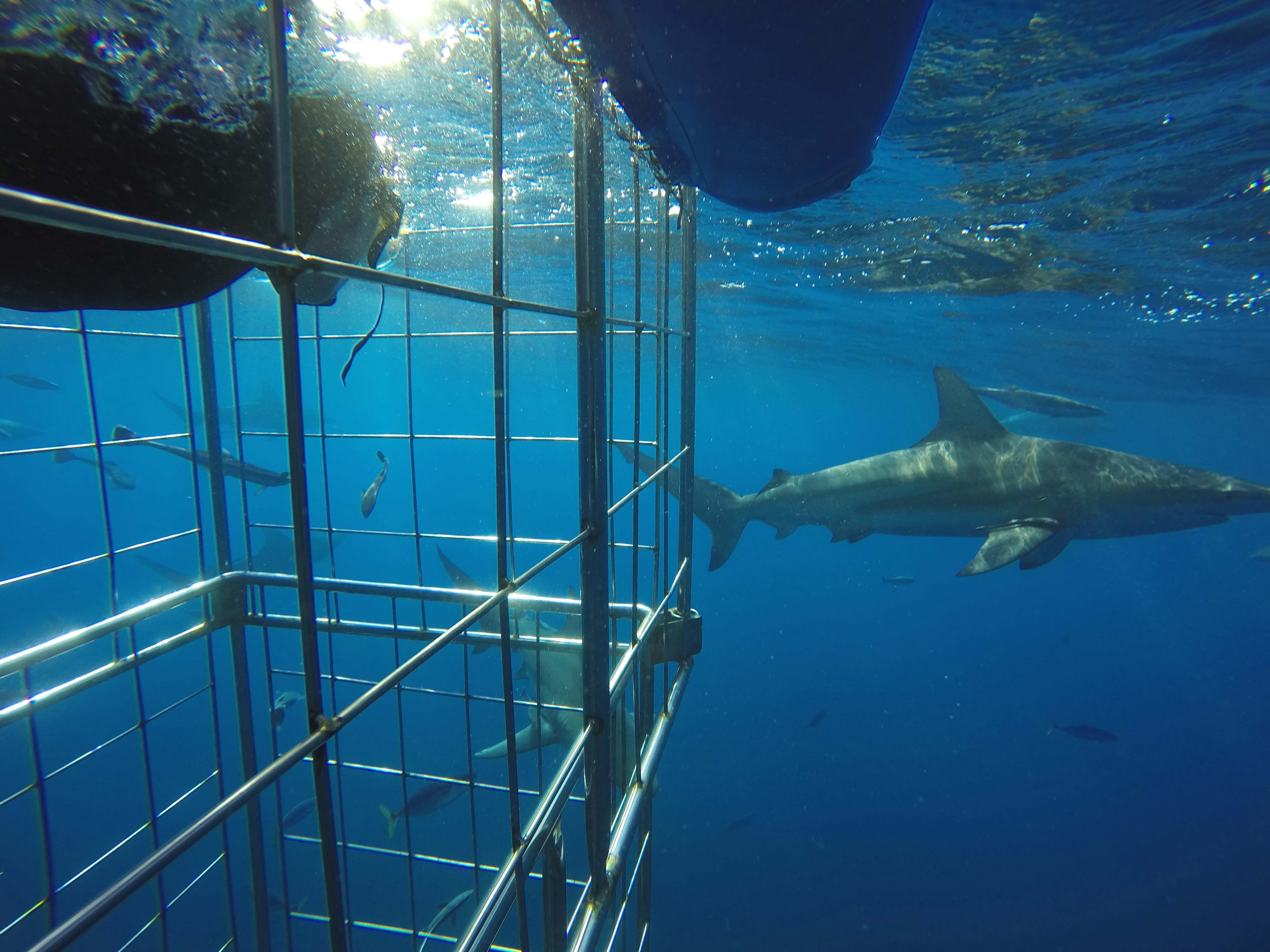 SHARK CAGE DIVING - This is your perfect next shark adventure. Don't worry is you can't swim. the bottom of the cage will stop you sinking very far. You will also be behind stell bars, and thus the sharks will know their place, and you will know yours. PERFECT!